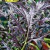 Семена Горчица салатная Фрилли Ред изображение
